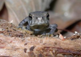 Little Toad ... with attitude by Serendith