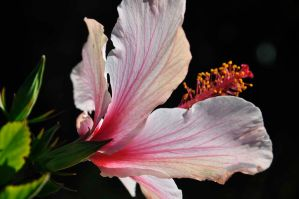 Hibiscus by ryanwaff