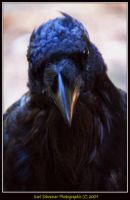 Raven 1 by KSPhotographic