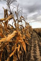 Corn Rows:  Row after Row by basseca