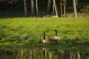 Canada Geese #1 by perost