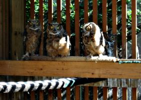 Four Great Horned Owls by Aniar