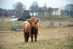 Highland cattle by RavensLane