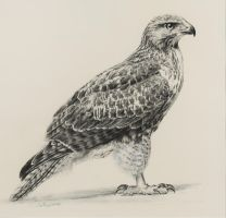 Red Tailed Hawk by Earleywine