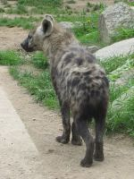 Spotted Hyena 07 by animalphotos
