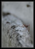 Bull ant by DesignKReations