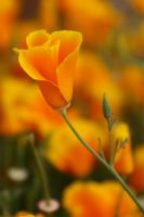 California Poppy 2 by James-T-Anthony