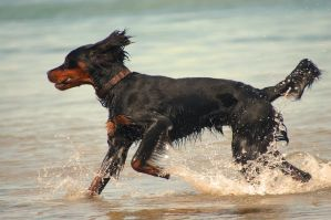Gordon Setter by PhotosThyria