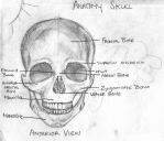 Skull Anatomy by LifeIsHard