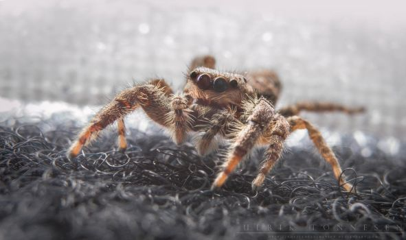 Jumping spider on the loose by NoviceOfAnimation