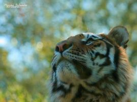 Beyond the tiger by MorganeS-Photographe