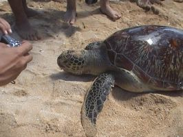 green sea turtle 2 by neogriff