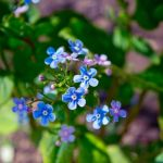 spring blue flowers by a-place4my-head