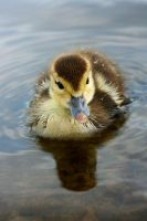 Duckling I by KAL1MAR1