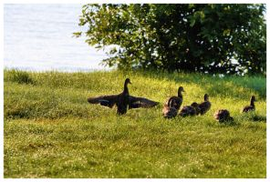 family of ducks by NOS2002
