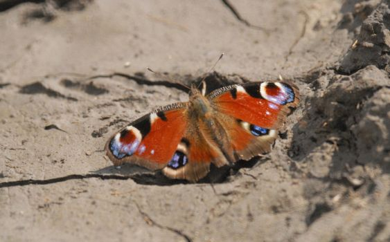 Peacock Butterfly by Meluzina81
