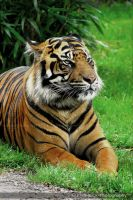 Bengal Tiger 0028s by mym8rick