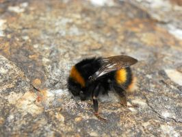Bumble bee by narcarsiss