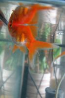 Gold fish 3 by Panopticon-Stock