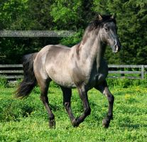 grullo stallion 4 by venomxbaby