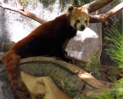 Red Panda by Photos-By-Michelle