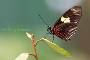 Heliconius melpomene by petertwang