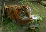 Bengal Tiger Nomming Box by Track-Maidens