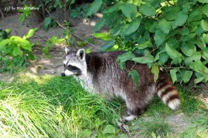Raccoon / Waschbaer by bluesgrass