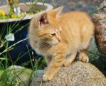 Red Tabby-kitten STOCK 0001 by cutedeviantfangirl