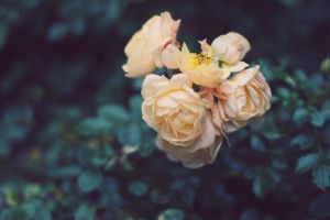 roses by lafaette