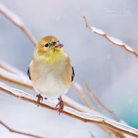 .:Snowy Goldfinch:. by RHCheng