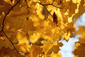 Yellow Leaf by miroslav-petrinec