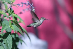 Golden Humming bird by WesHPhotography