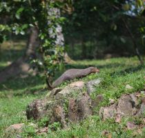 Mongoose by jennystokes