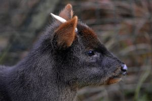 Southern Pudu by Clangston