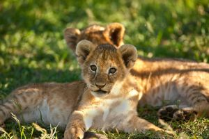 African Lion 36 by catman-suha