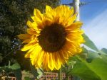 Sunflower Stock 001 by mischamilo