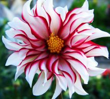 Red and White Striped Flower by kymbreakdown
