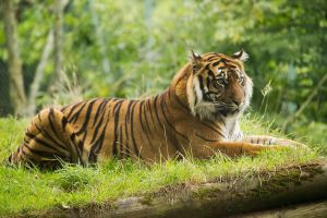 Tiger by Bobbykim666