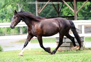 friesian x clydesdale mare 1 by venomxbaby
