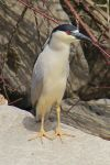 Black Crowned Night Heron 2 by 2Shorty