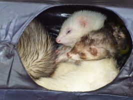 Fifi the Blind Ferret 1 by vulpinoid