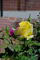 Yellow Rose by Elle-Arden