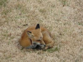 Wounded Fox by Q99