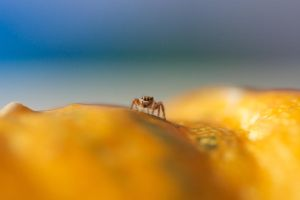 Jumping spider on a pumpkin by sankyaku