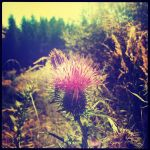 Thistle by marjorie1206