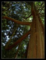 Giant Redwood by Vampiric-Pirate
