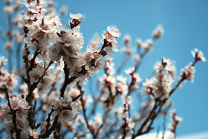 Apricot Blossoms 2 by rnoltara