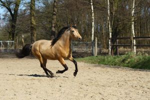 Andalusian stallion stock by Visibre