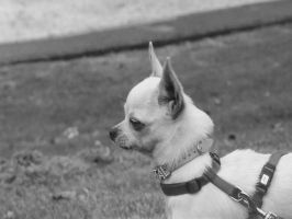 Chihuahua by Nivin